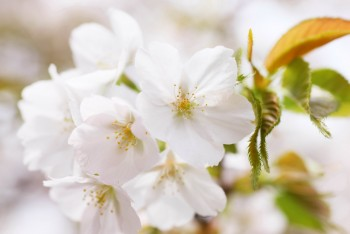 Фото - Цветущая вишня и сакура (54 шт)
